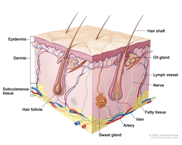 Skin anatomy; drawing shows layers of the epidermis, dermis, and subcutaneous tissue including hair shafts and follicles, oil glands, lymph vessels, nerves, fatty tissue, veins, arteries, and a sweat gland.
