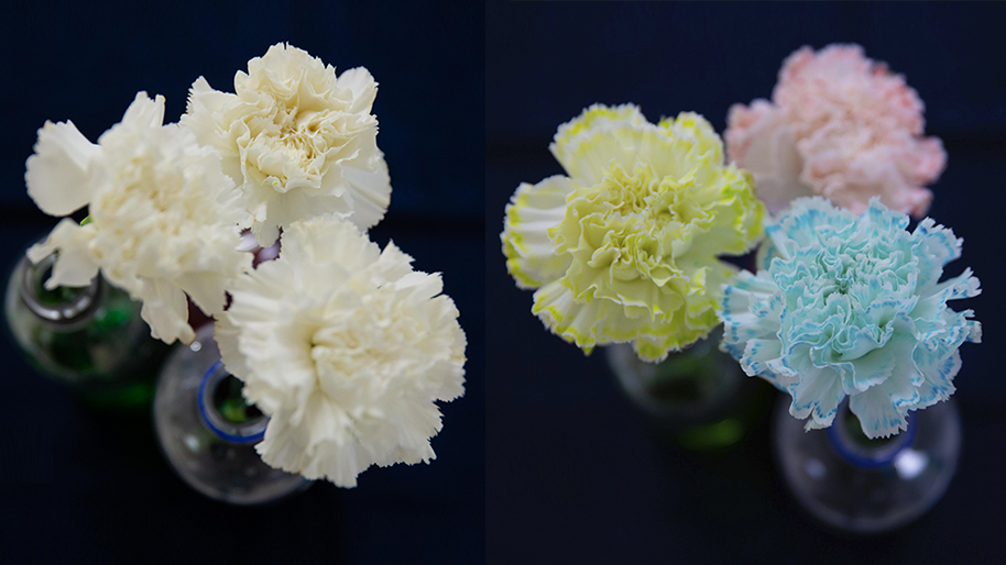 Carnations that have been dyed blue, pink and green