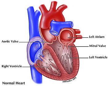 Normal heart medical illustration